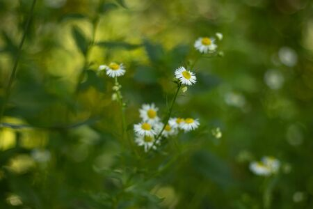 daisy flowers in the field on a blurry green background 版權商用圖片