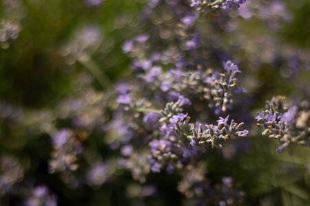 purple wildflowers as spring background 版權商用圖片