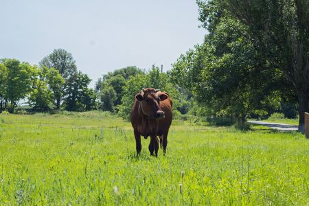 brown cow on a chain grazes on the grass