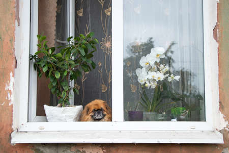 Pekingese dog sits in the window of an old apartment building near the flowers and looks out the window Reklamní fotografie