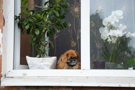 Pekingese dog sits in the window of an old apartment building near the flowers and looks out the window 版權商用圖片