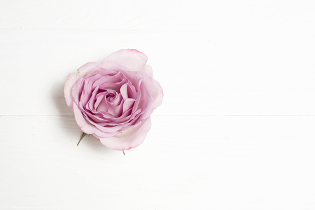 Silverston rose flower on white background. Copy space.
