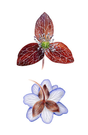 Blue hepatica with sepal. Watercolor botanical illustration isolated on white background. Highly detailed. Hand drawn spring flower. Stock Photo