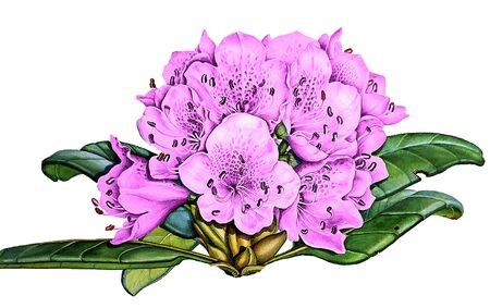 Watercolor painting of flowers, rhododendron blooming on white background. Banco de Imagens - 137887474