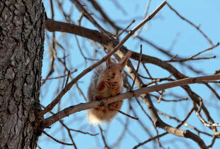 climbed: The red squirrel sits at the end of the tree and look into the camera, holding the paws of the nutlet. The squirrel prepares for dinner in the park. A beautiful, fluffy, red-haired squirrel, found a nut, climbed onto a branch, held a nut in her paws. Wood