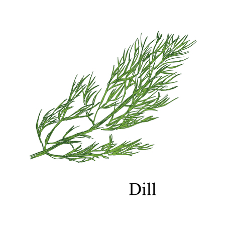 Raster illustration hand drawn fresh green bunch of dill isolated on white background. Sketch style Stock Photo