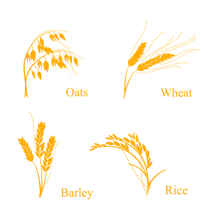 Raster illustration of ripe ears of cereals with inking and lettering names in English. Oat, barley, rise and wheat.