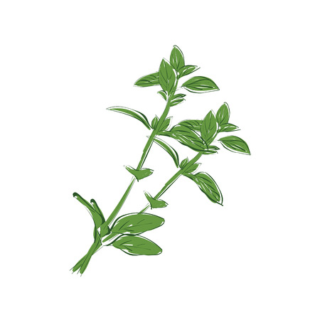 Raster illustration hand drawn fresh green basil leaves isolated on white backgound. Sketch basil salad
