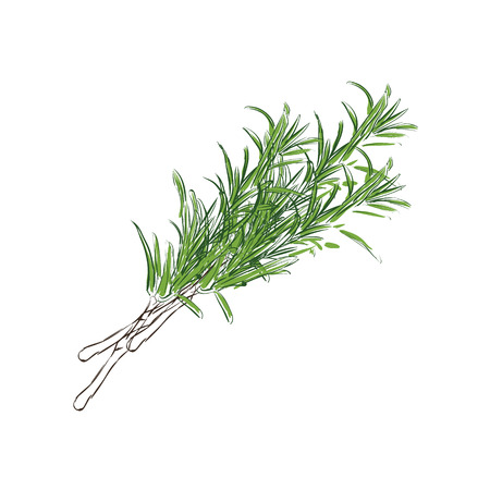 Raster illustration fresh rosemary sprig. Rosemary sprig sketch style. Herbals and spices.