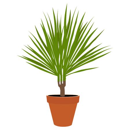 Houseplant - dracena marginata a potted plant isolated on white background