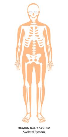 Raster illustration. Male human body skeletal system. Skeleton front view Banque d'images - 116458081