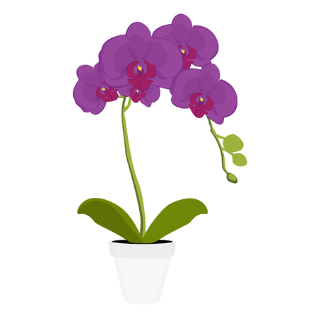 Exotic purple orchid houseplant potted flower. Phalaenopsis orchid blooming in a pot