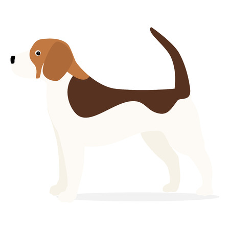 Beagle dog isolated on white background. Small hunting dog with brown-white coat and long ears. Puppy with cute muzzle