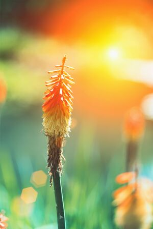 Kniphofia hybrida Red Hot Poker orange flower against sun, close up