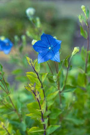 Blue Platycodon grandiflorus or Balloon flower, Chinese bellflower. Close up Stock Photo