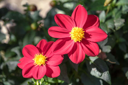 Two big red flowers Zinnia, blurred background. 스톡 콘텐츠 - 155368701