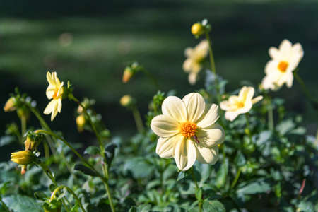 Yellow flowers Zinnia, close up. Beautiful natural background. 스톡 콘텐츠 - 155368725