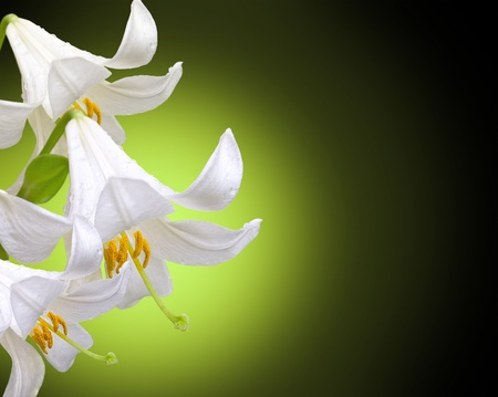 Three white lilies on a dark green background Stock Photo