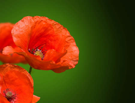red poppies on a green background Stock Photo