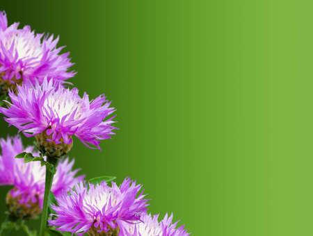 cornflowers floral background for design
