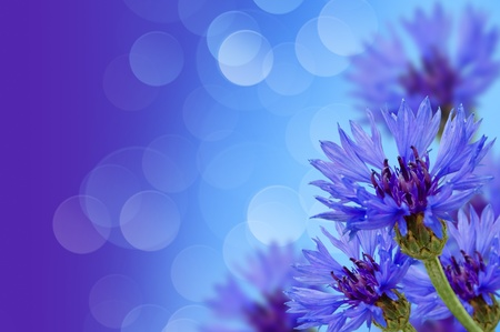 flower meadow of cornflowers with the background