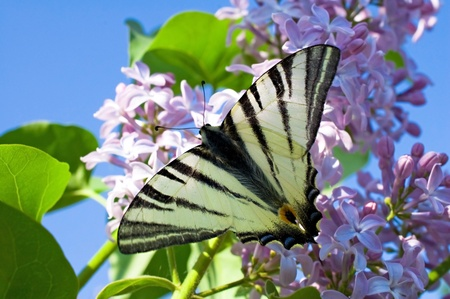 Beautiful butterfly on lilac flowers of close-up