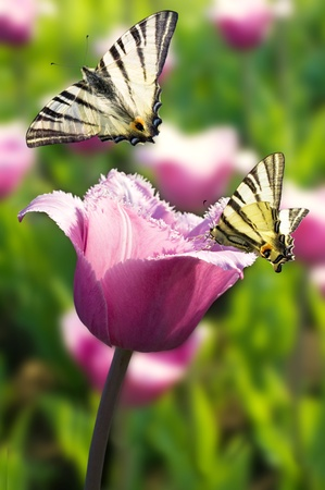 two butterfly on purple tulip on a sunny day photo