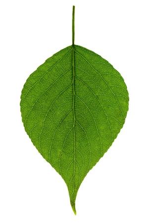 クローズ アップ ホワイト バック グラウンド上の単一の緑の葉 写真素材 - 13484036