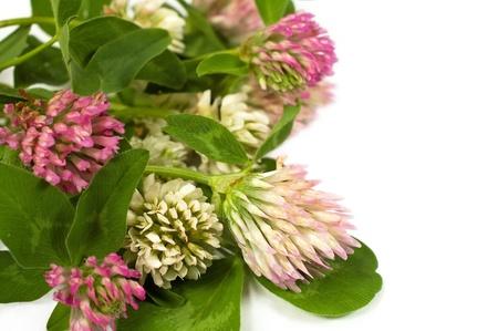 白い背景の上の花のクローバー 写真素材