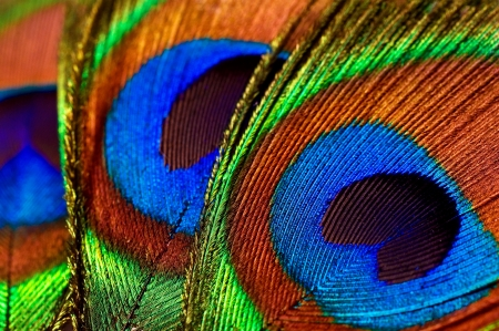 abstract background with peacock feathers close-up