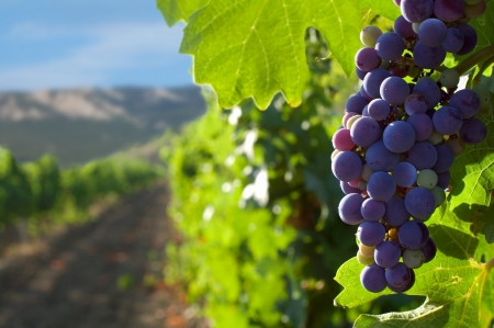 grapes on vine: grapes on a background of mountains and vineyards Stock Photo