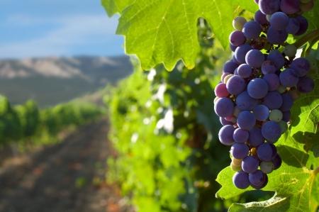 vid: uvas en un fondo de montañas y viñedos
