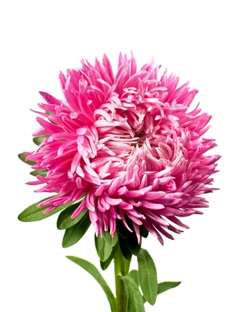 白い背景で隔離された単一のピンク アスター 写真素材