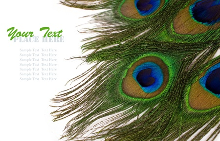 peacock feathers on white background with copy space photo