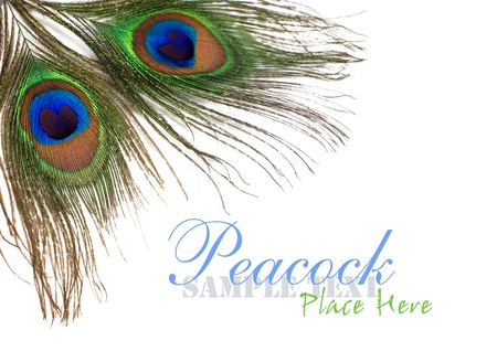 pluma de pavo real: plumas de pavo real en un fondo blanco para el dise�o Foto de archivo