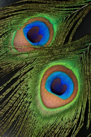 黒い背景に孔雀の羽のクローズ アップ