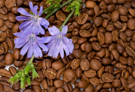chicory coffee: background with chicory and coffee beans