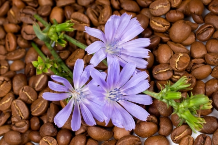 chicory coffee: background with coffee beans and chicory flowers