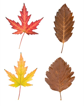 set of autumn leaves on a white background  photo