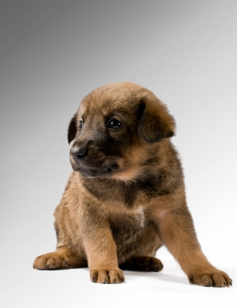 Studio portrait of a brown puppy on a gradient background photo