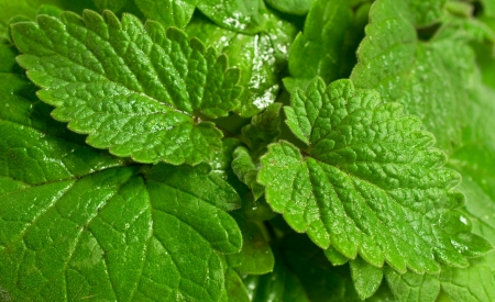 background with fresh mint close up