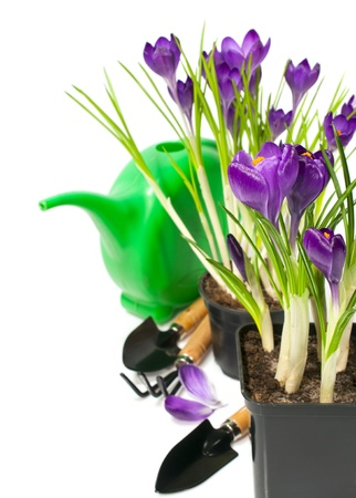 Still Life with crocuses in pots and gardening tools  Stock Photo
