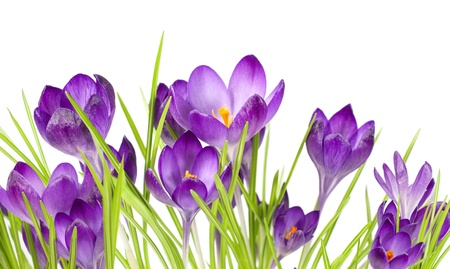 bouquet of spring crocuses isolated on white  photo