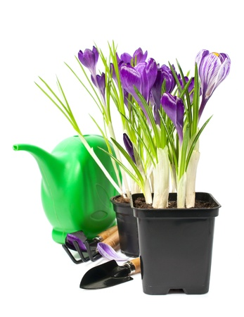 crocuses in a pot with garden tools isolated on white  photo