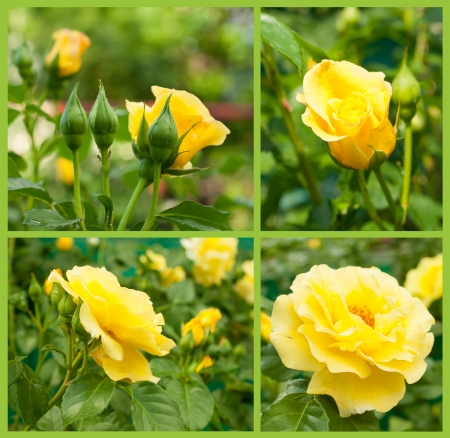 floriculture: Floriculture. Set of yellow roses close-up