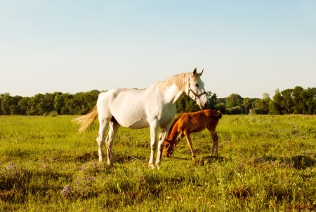 white mare and bay foal in a meadow at sunset photo