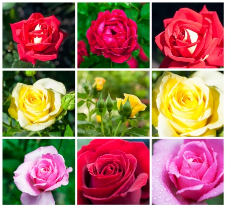 set of multicolored roses close-up