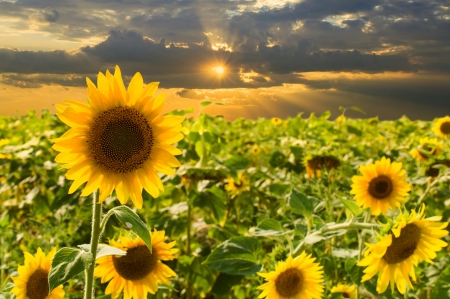landscape: field of sunflowers at sunset photo
