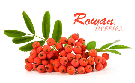 bunchy: rowan berries isolated on a white background