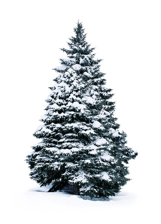 白い背景で隔離の雪で覆われているトウヒ 写真素材